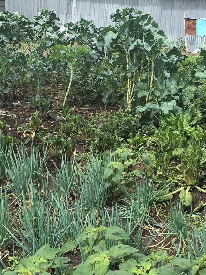 Das Bild zeigt den Blick in einen Waisenhausgarten. Zu sehen sind eine Vielzahl von Pflanzen in den unterschiedlichsten Formen und Grüntönen, wie Zwiebeln, Kohlgemüse oder Krautstiel