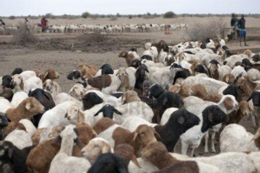 7206244 herde von ziegen in kenia