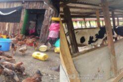 Hühner und Kühe