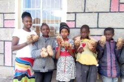 Grosse Kartoffel-Ernte